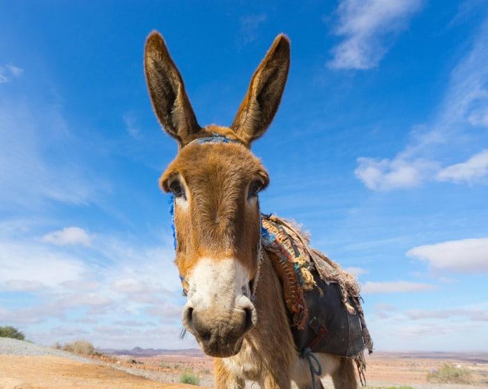 donkey, not a money mule