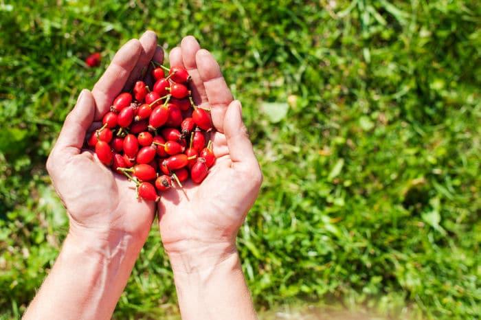 fruit in hands of a picker