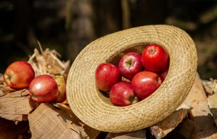 apples in a hat at harvest time